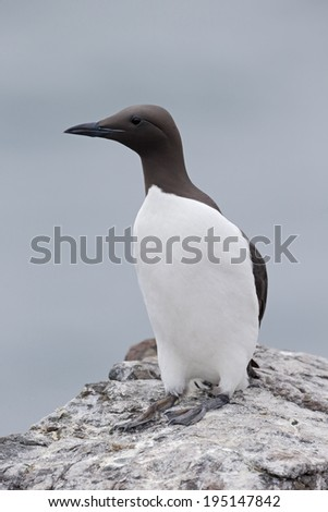 Guillemot, Uria aalge, single bird on rock, Northumberland, May 2014