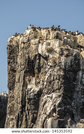 Guillemots and puffins at the Farne Islands