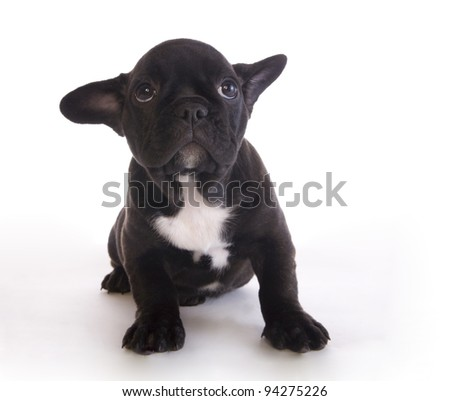 Guilty French Bulldog puppy on white background