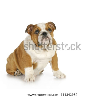 guilty looking puppy - english bulldog puppy looking up with guilty expression - stock photo