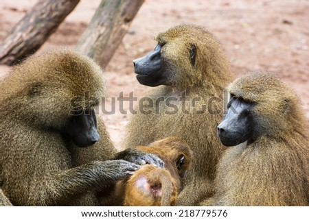 Guinea baboon family (Papio papio). Parents caring for the young. Animal theme. - stock photo