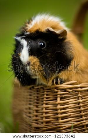 guinea-pig - stock photo