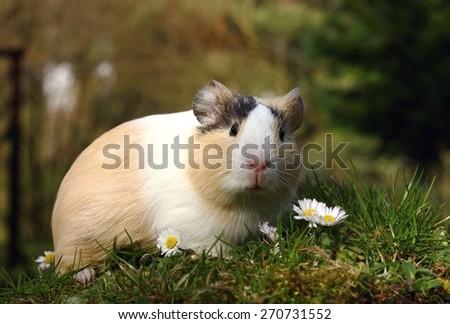 Guinea pig and daisy - stock photo