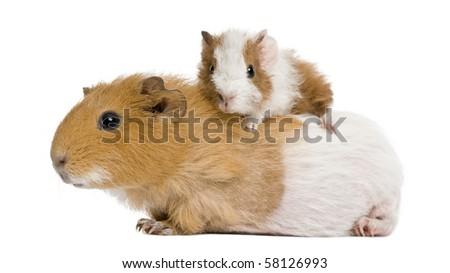 Guinea pig and her baby in front of white background - stock photo