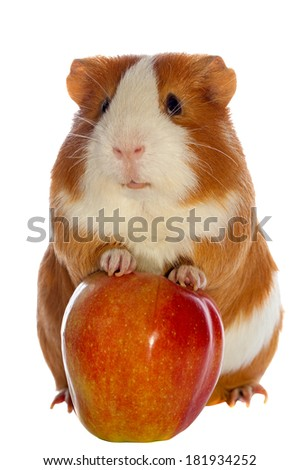 guinea pig and red apple isolated over white - stock photo