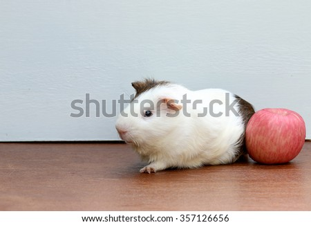 Guinea pig and red apple, sitting on the desk. A popular household pet. - stock photo