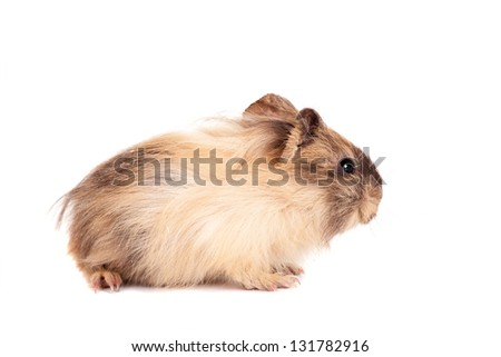 Guinea pig baby isolated on white background
