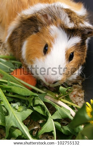 Guinea pig eating - stock photo