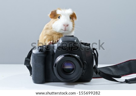 Guinea pig Friendly white and brown on a camera - stock photo