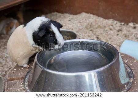Guinea pig in a pen - stock photo