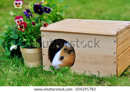 Guinea pig in a wooden house in the garden - stock photo