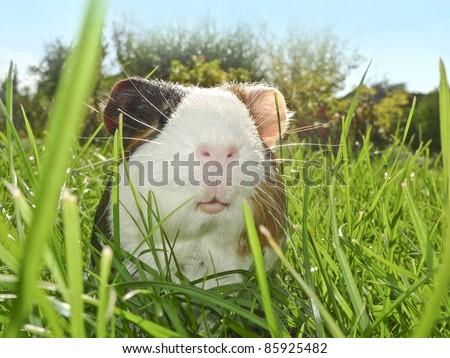 guinea pig in the garden - stock photo