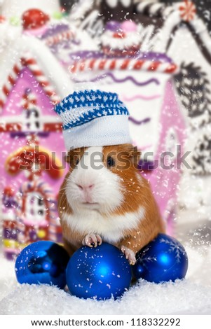 guinea pig in winter hat over Christmas background - stock photo