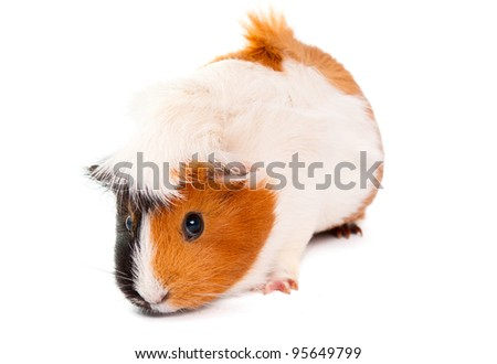 guinea pig isolated on white background - stock photo
