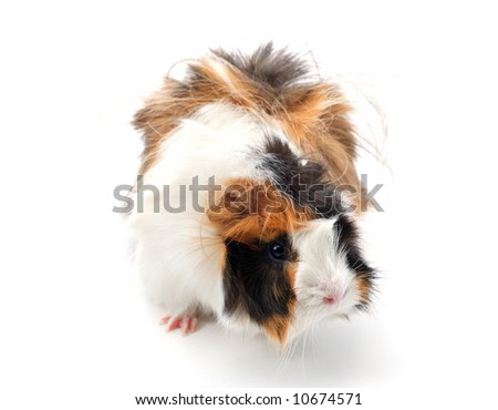 Guinea pig isolated over white
