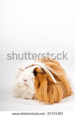 Guinea pig isolated over white background - stock photo