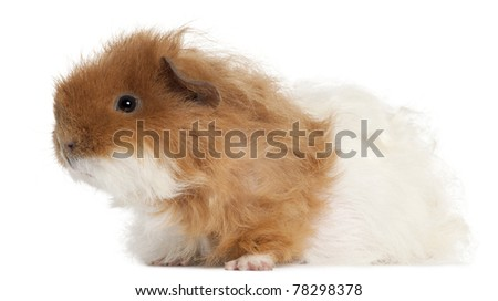 Guinea pig, 7 months old, in front of white background - stock photo