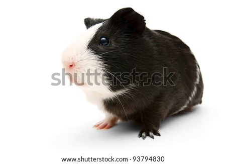 guinea pig. On a white background. - stock photo