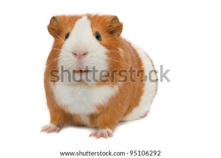 guinea pig on white background isolated - stock photo