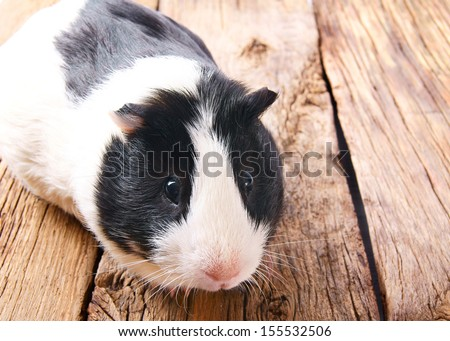 Guinea pig on wooden board. - stock photo
