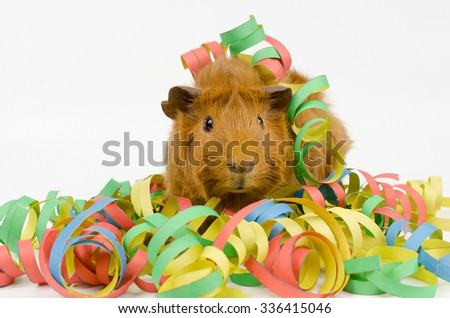 guinea pig playing with paper streamers (looking into camera) - stock photo