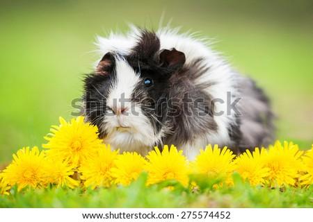 Guinea pig sitting in dandelions in summer - stock photo