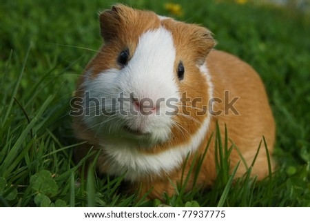 guinea pig sitting in the grass - stock photo