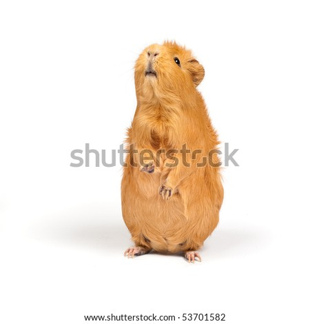 Pig standing stock images royalty free images vectors for Guinea pig stand
