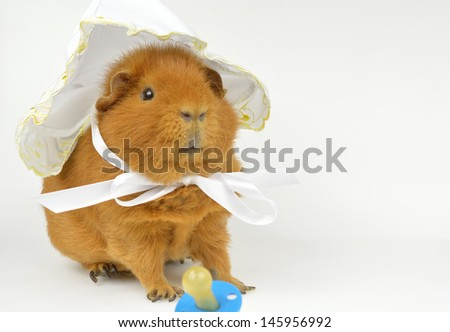 guinea pig (US-Teddy) with baby bonnet - stock photo