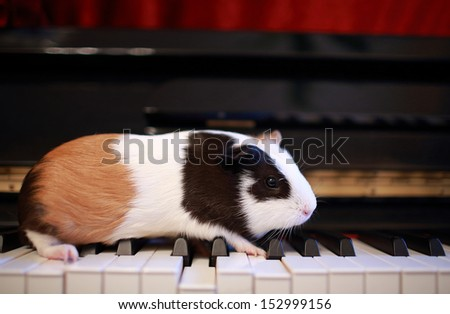 Guinea pig walk on the piano, play talent on music - stock photo