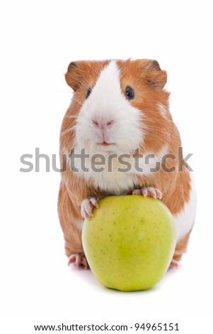 guinea pig with green apple over white background - stock photo