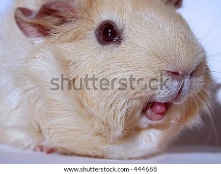Guinea pig with tongue out