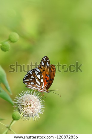 Gulf Fritillary butterfly (Agraulis vanillae) feeding on buttonbush flower. Natural green background with copy space. - stock photo