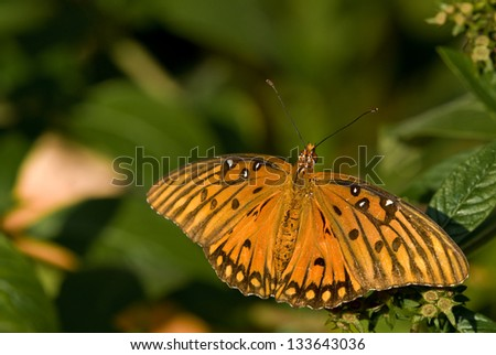 Gulf Fritillary Butterfly sitting on a leaf - stock photo