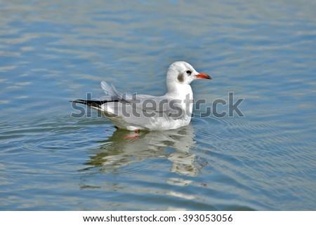 Gull, glassy sea - stock photo
