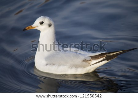 Gull on the water - stock photo