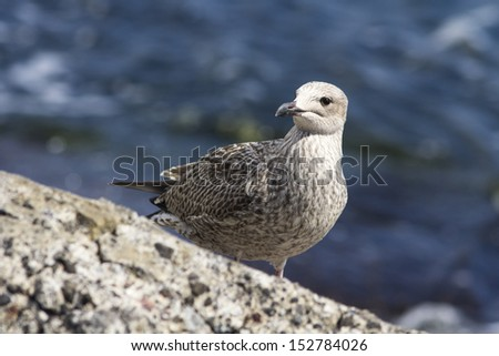 Gull With Water Background