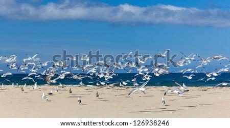 Gulls in Flight at Monterey Bay - stock photo
