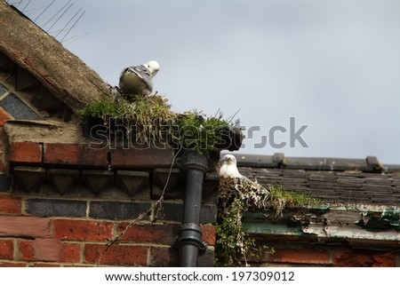 Gulls nesting on building in Bridlington, east Yorkshire.