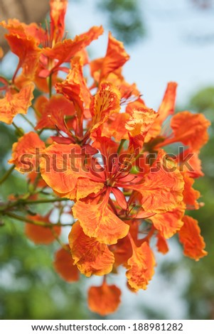 Gulmohar flowers - stock photo