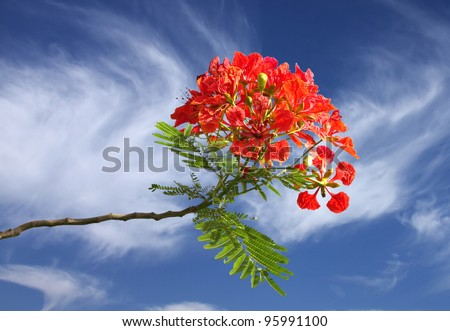 Gulmohar flowers on beautiful clear sky - stock photo