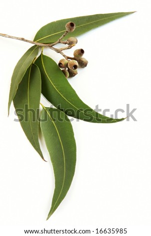 Gum leaves and gum nuts, casting natural shadow on white. - stock photo