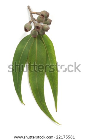 Gum leaves with gum nuts, isolated on white with soft shadow.  Please see my gallery for similar. - stock photo