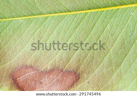 Gummy stem blight disease on cucumber leaf. - stock photo