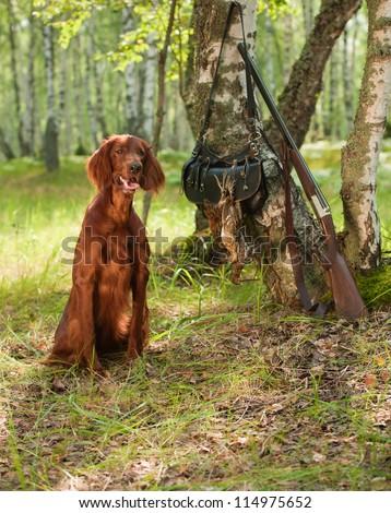 Gun dog near to shot-gun and trophies, vertical, outdoors - stock photo