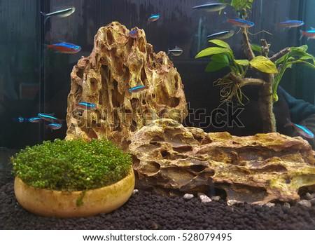 Guppy Tank | Guppy Fish Tank Decoration Stock Photo Royalty Free 528079495
