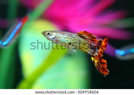 Guppy fish with colorful background (Poecilia reticulata) - stock photo