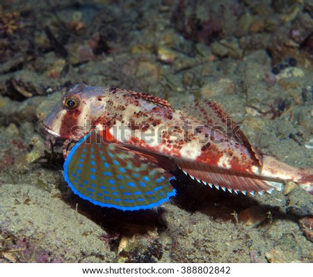 gurnard fish swims into the sea showing his colors