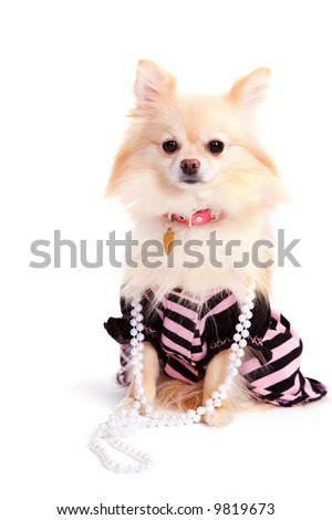 Gussied-up pup isolated on white. - stock photo