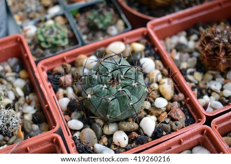 Gymnocalycium vatteri v. altautine cactus with black spines close up among other succulents in collection on a windowsill - stock photo